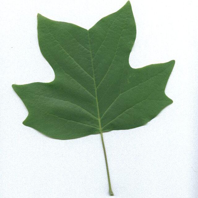 White Poplar Tree Leaf Identifying Yel...