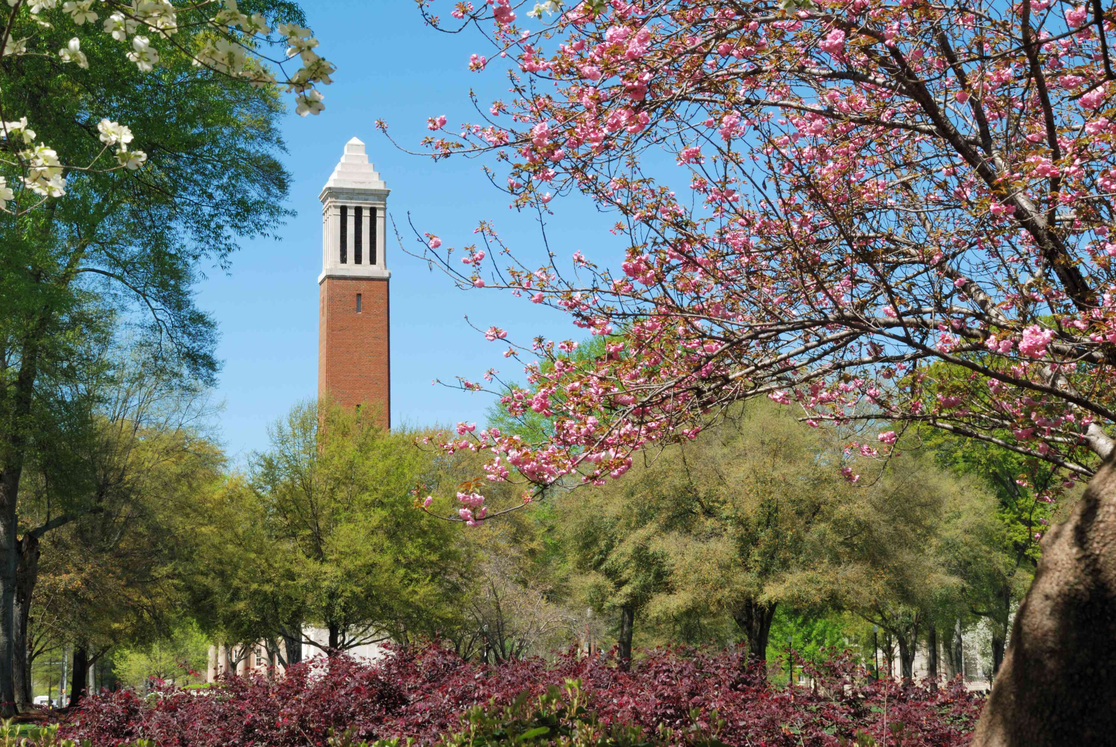 The University of Alabama campus in the spring surrounded by blooming trees