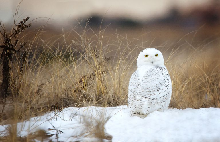 Snowy Owl (Bubo Scandiacus) Sitting on Snow at Jones Beach