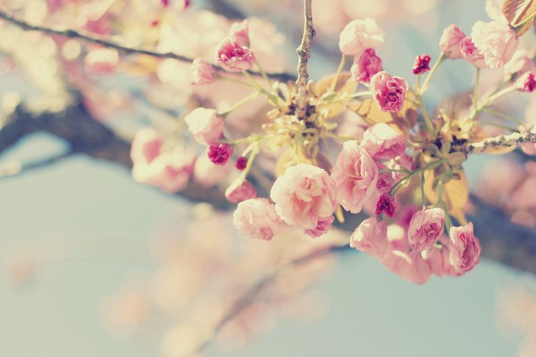 Spring Pastel Cherry Tree