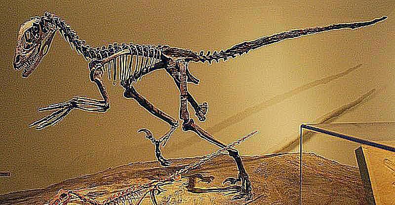 deinonychus skeleton