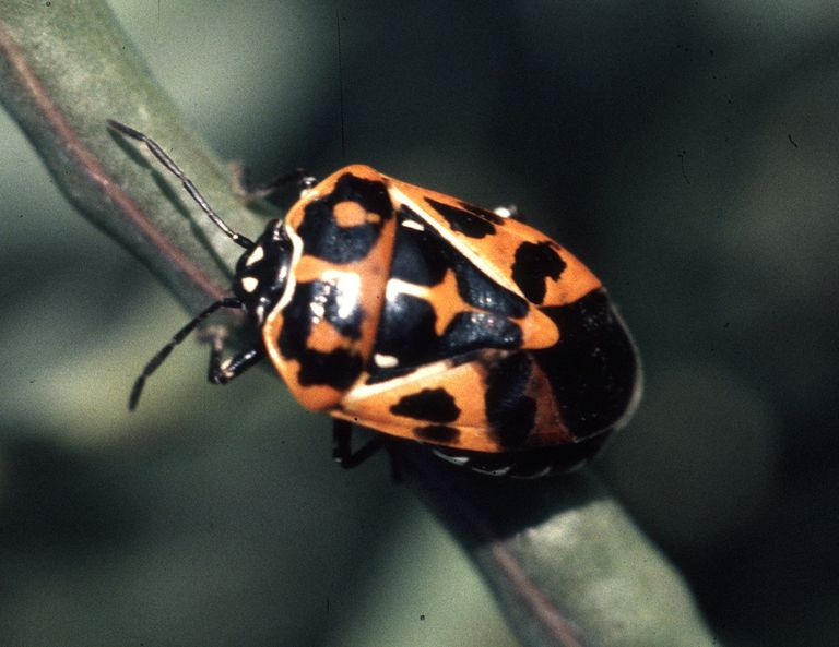 Harlequin stink bug.