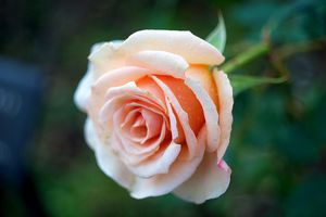 Flores is a Spanish surname that means flower.