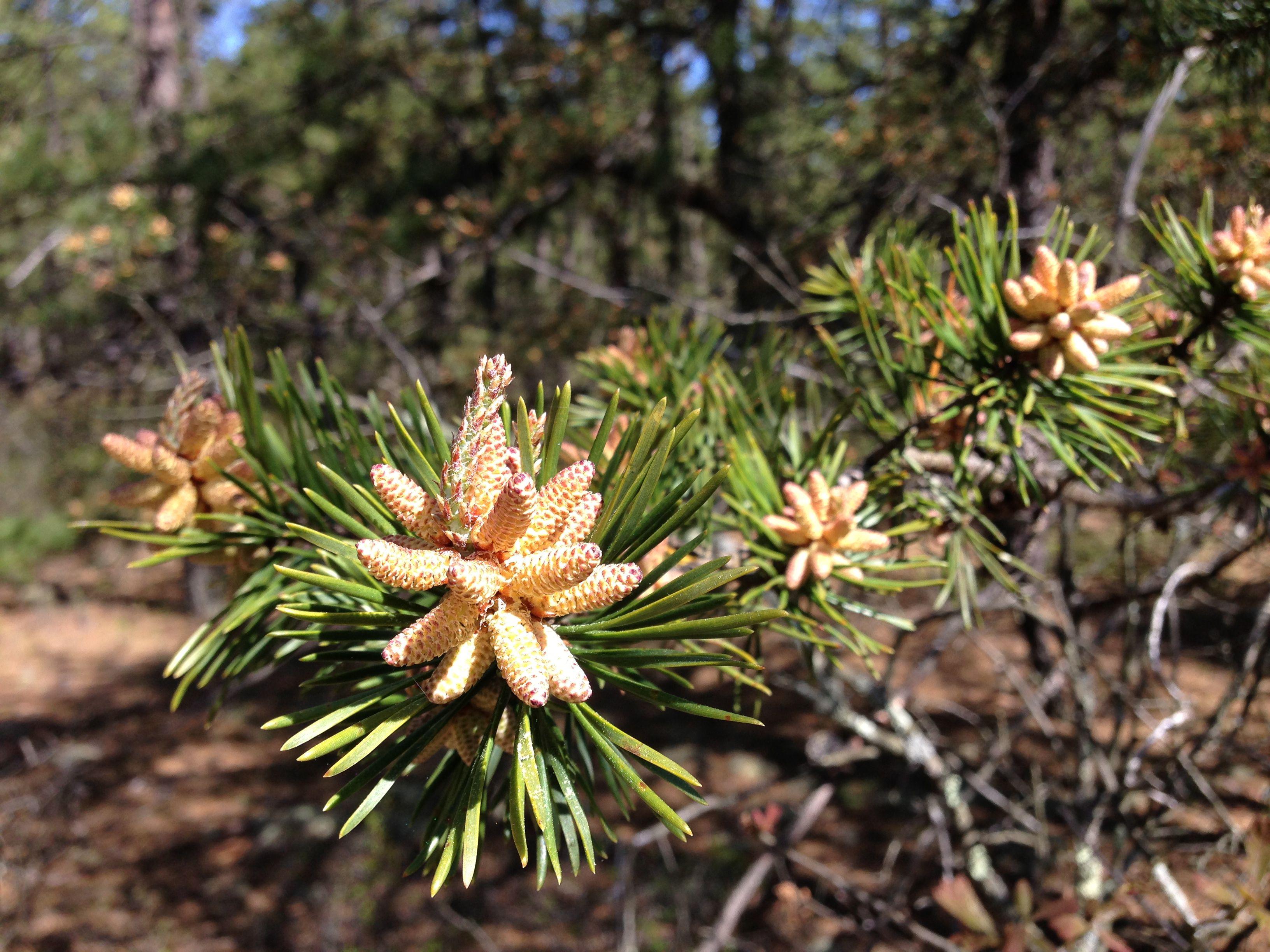 The Major North American Conifers with Descriptions