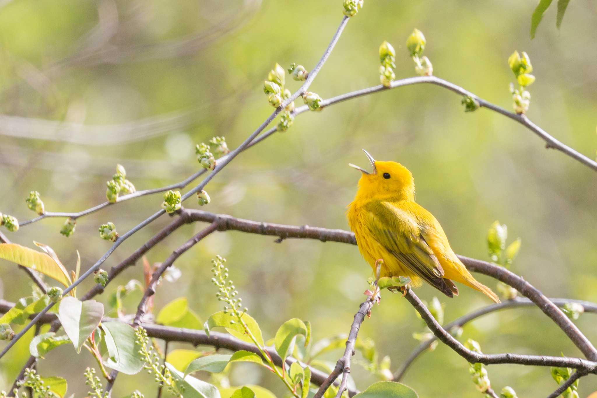 Yellow warbler sitting on a branch and singing.