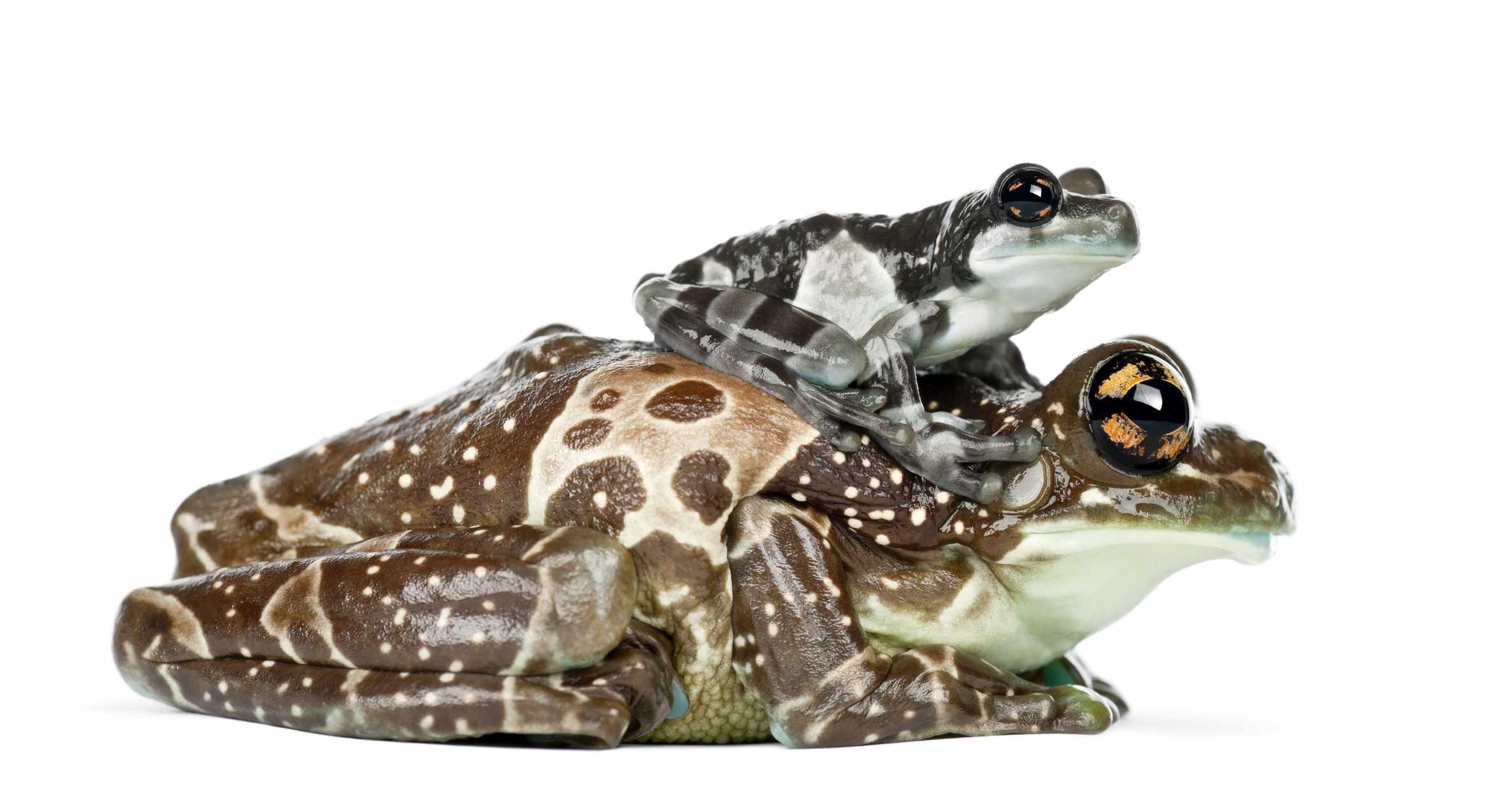 Amazon milk frog adult and young