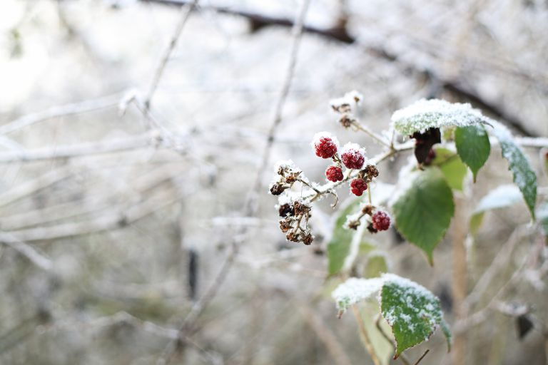 Frozen wild berries in the forest
