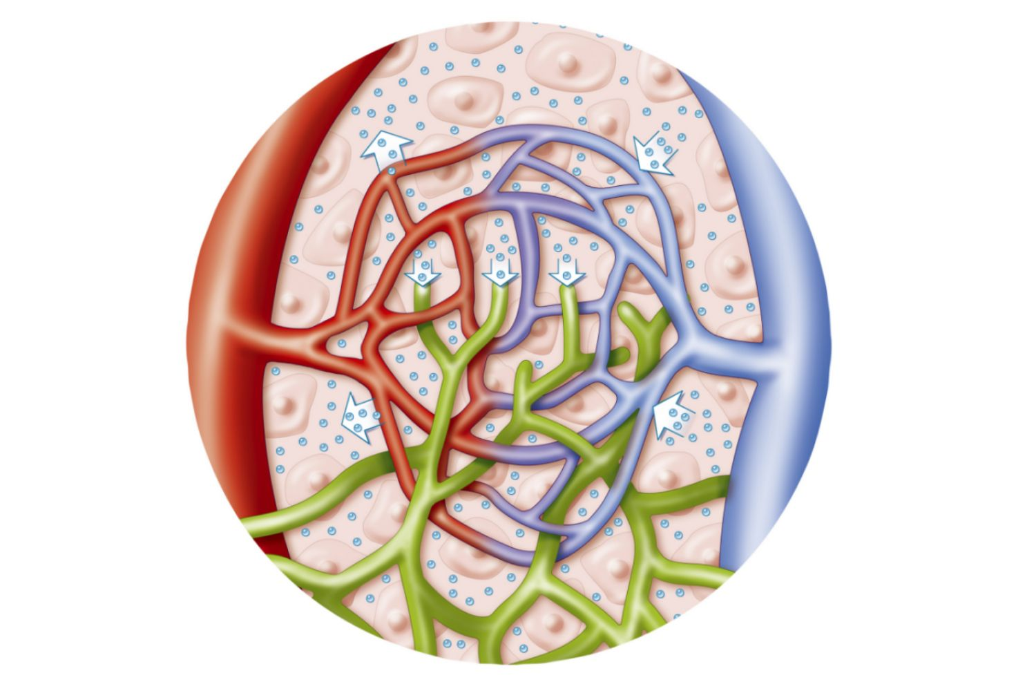 Lymphatic Vessels And Normal Blood Volume