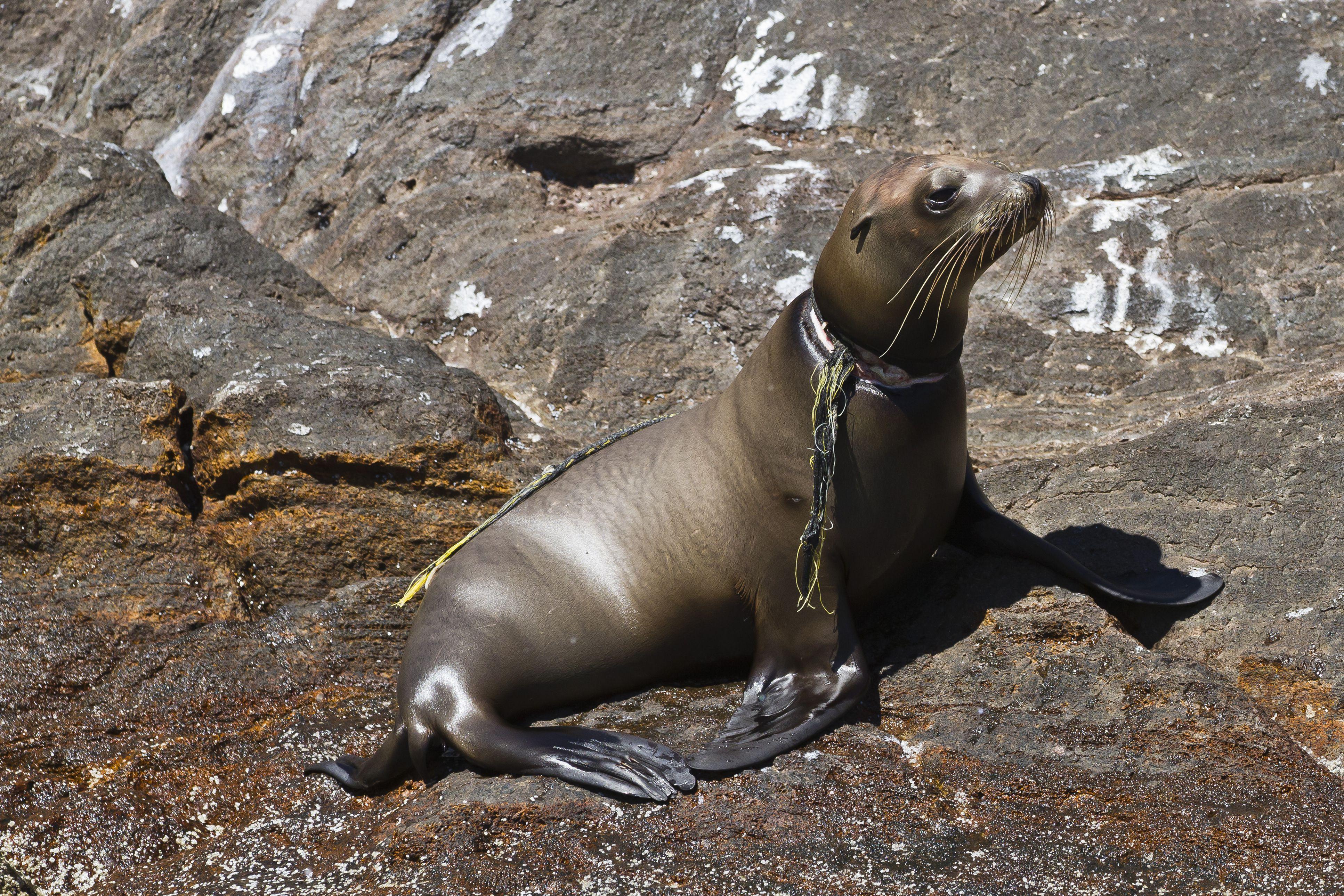 California sea lion pup (Zalophus californianus) entangled in net, Los Islotes, Baja California Sur, Gulf of California (Sea of Cortez), Mexico, North America