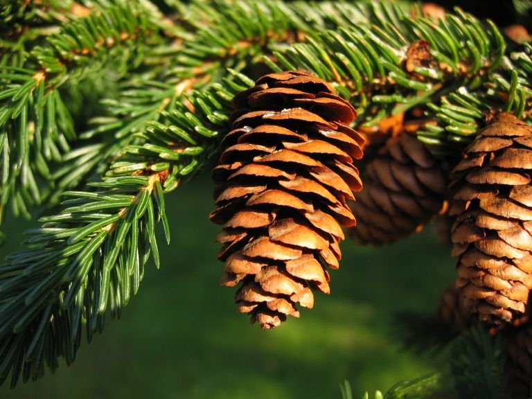 Picea rubens Sarg. - red spruce cones photographed in the United States