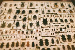 Pinned beetle specimens
