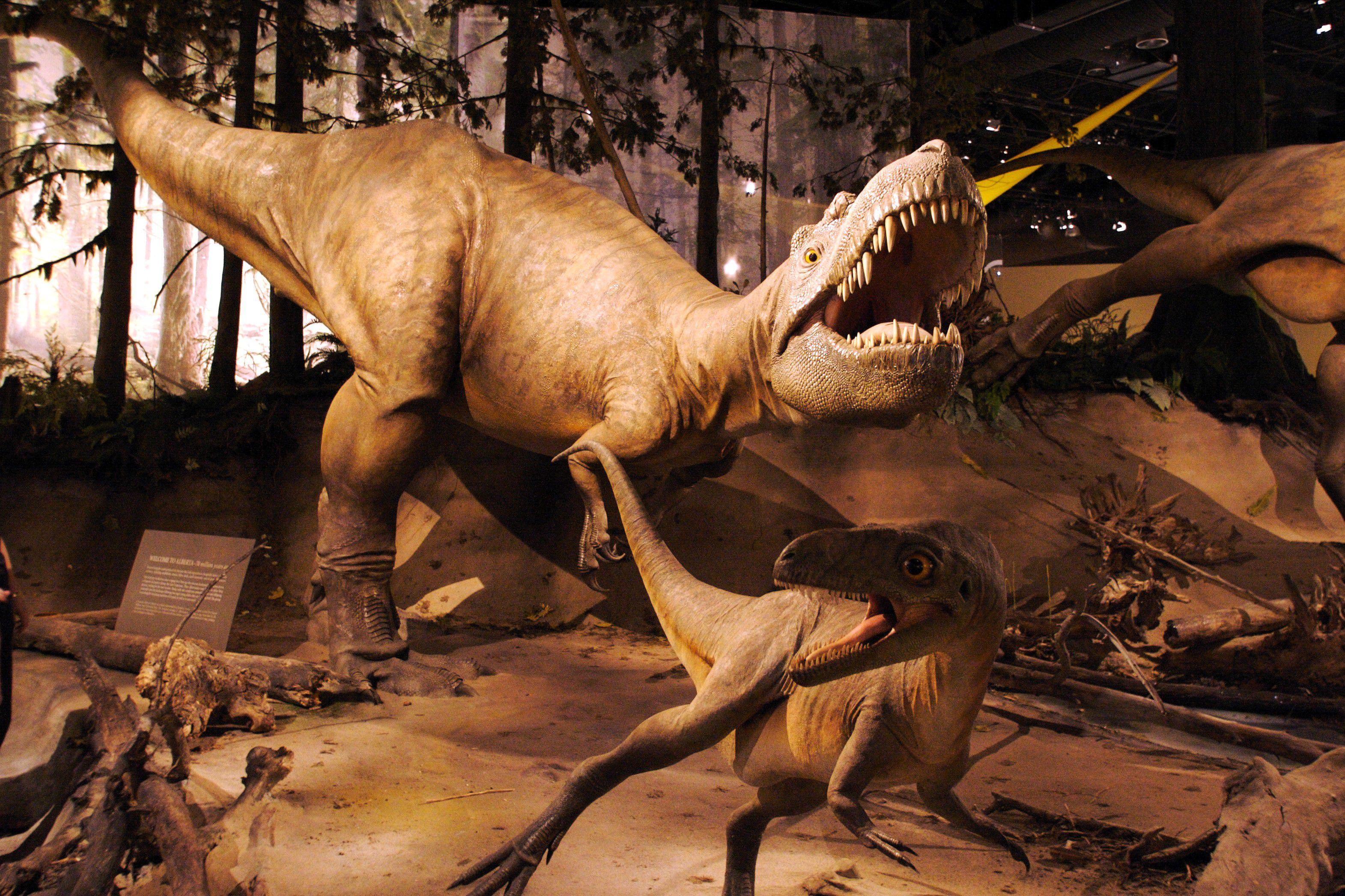 An albertosaurus model chasing after smaller dinosaurs