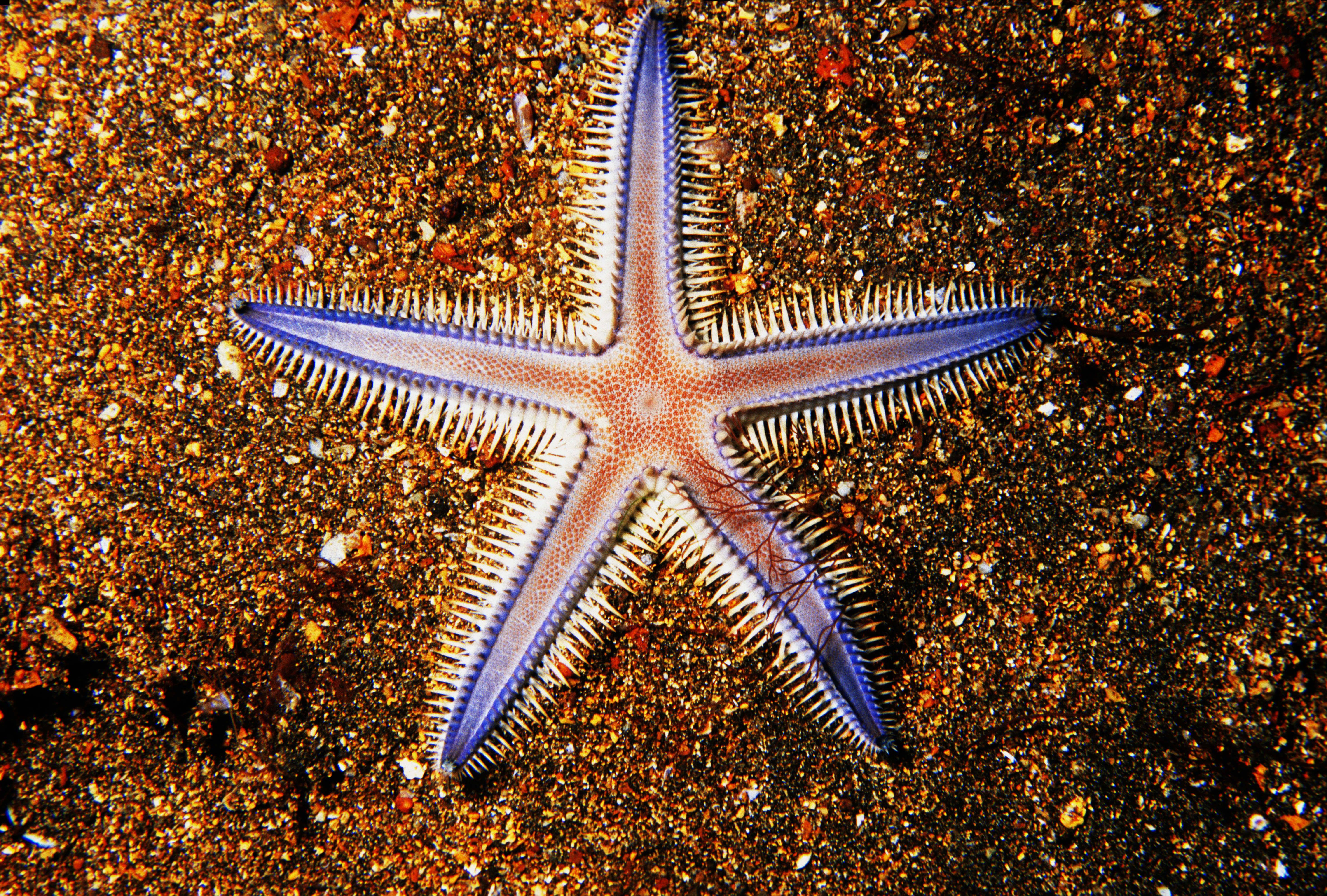 Galapagos, closeup of seastar on colorful sand.