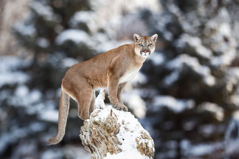 The mountain lion is native to the Americas.