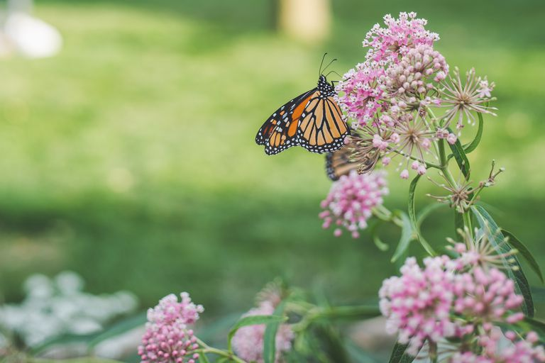 Monarch butterflies rest on milkweed while they migrate through eastern South Dakota during their late summer migration south.