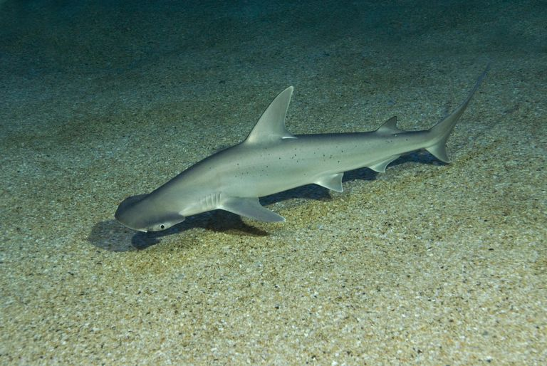 Bonnethead (Sphyrna tiburo) Seaquarium