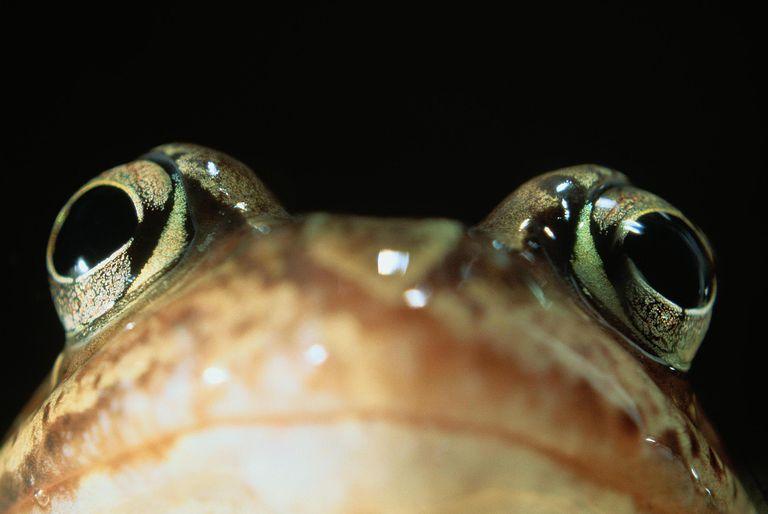 Common European frog (Rana temporaria), head-shot