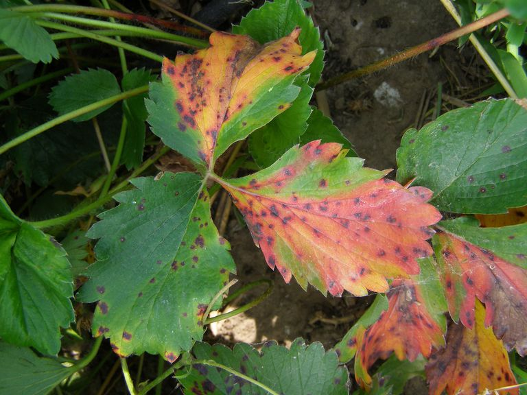 Leaf scorch on a plant