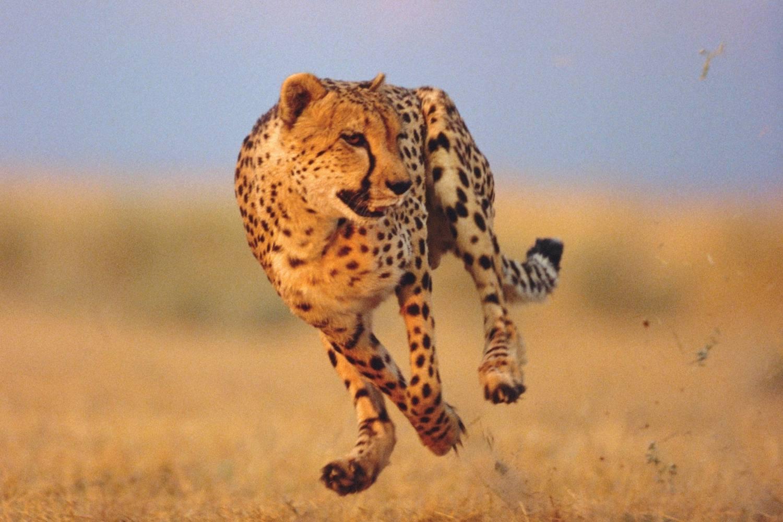 Cheetah running across the grass at a high speed.