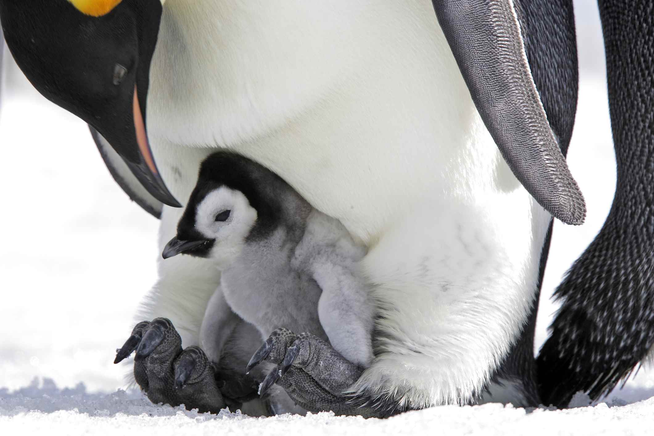 Males keep chicks warm by resting them on their feet and snuggling them in an area of feathers called the