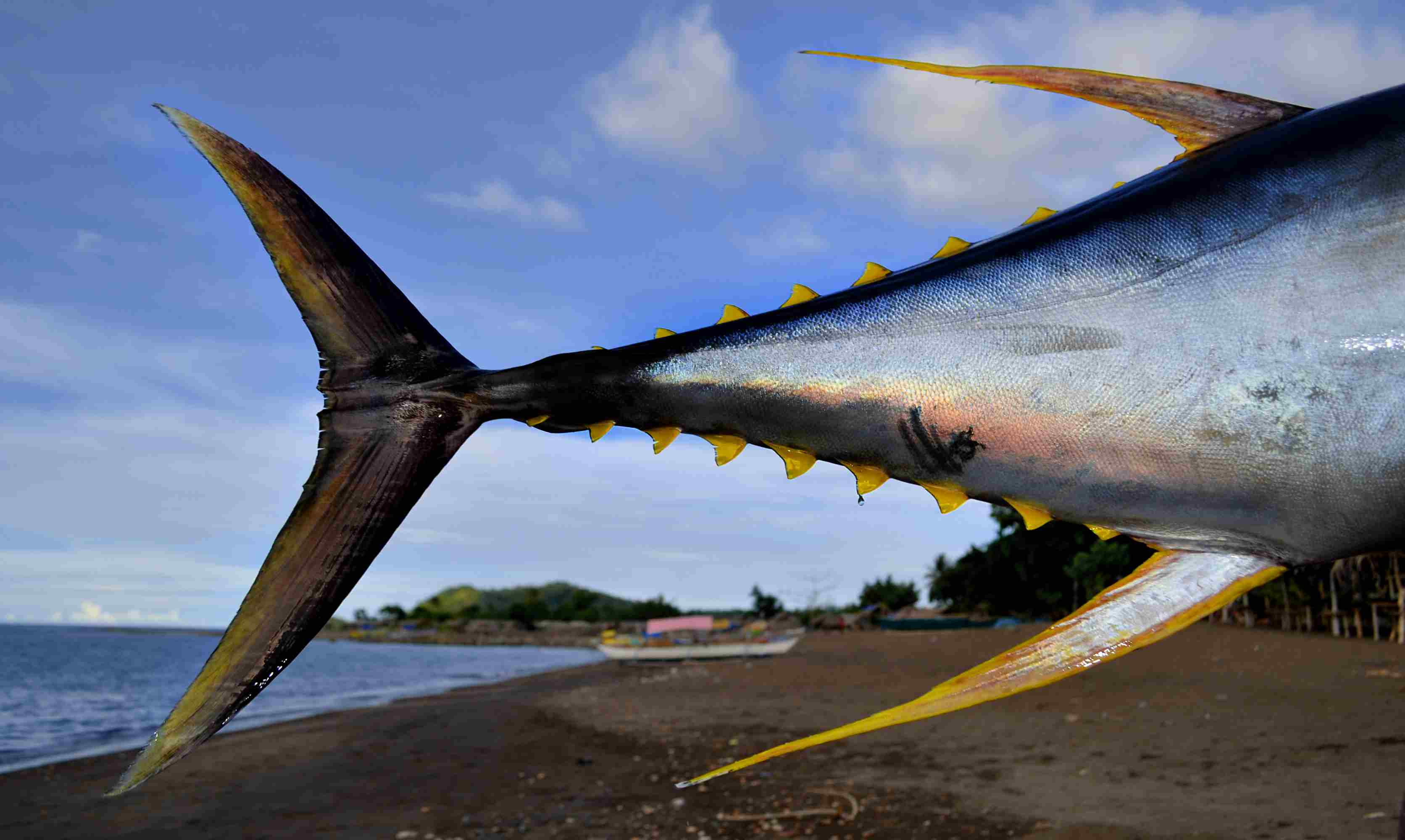 The yellowfin tuna has a sickle-shaped yellow tail and yellow finlets.