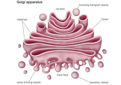 The nucleus definition structure and function golgi apparatus the cells manufacturing and shipping center ccuart Choice Image