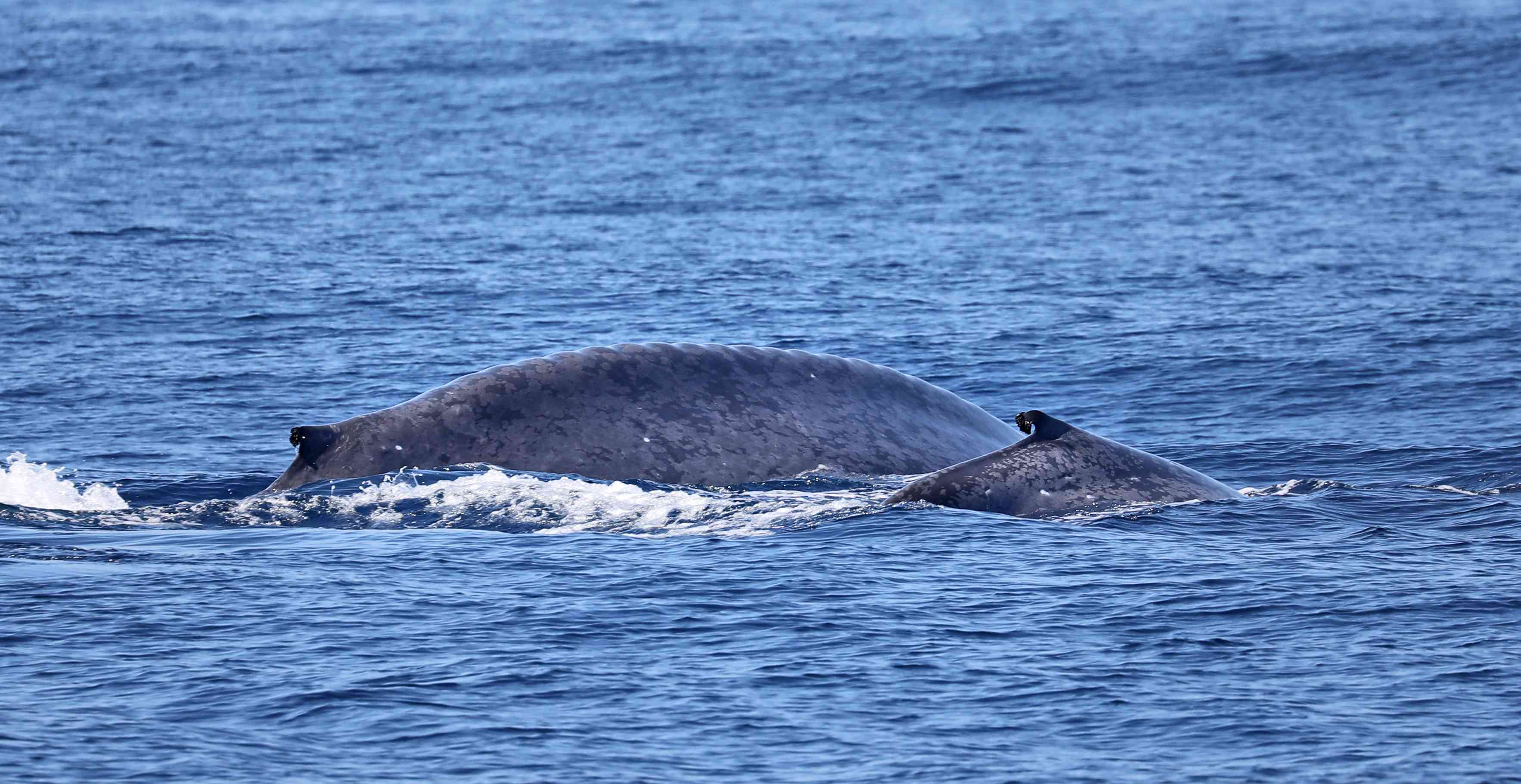 A blue whale calf with its mother
