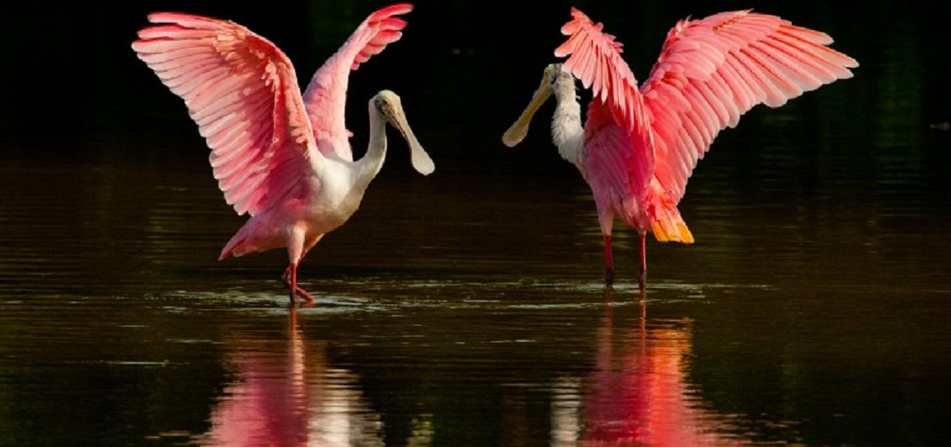 Two roseate spoonbill spreading their wings over water.