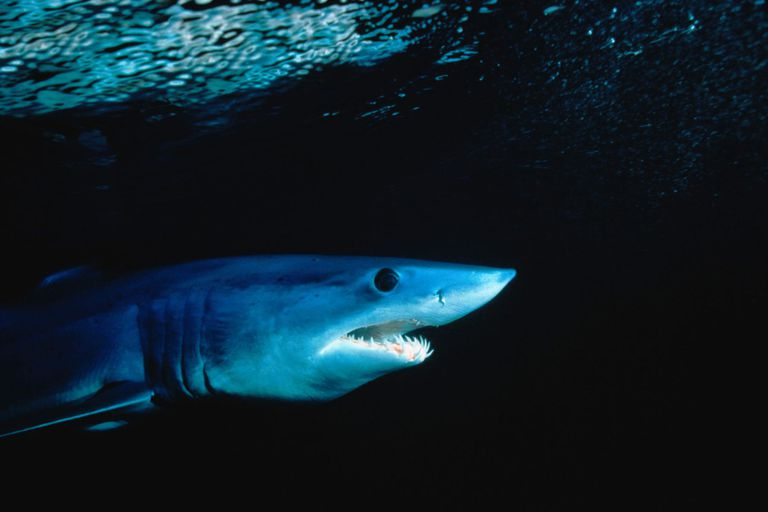 Shortfin Mako shark(Isurus oxyrichus)underwater,South Pacific