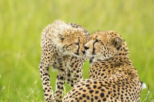 Mother Love Cheetah is lying down in the grass