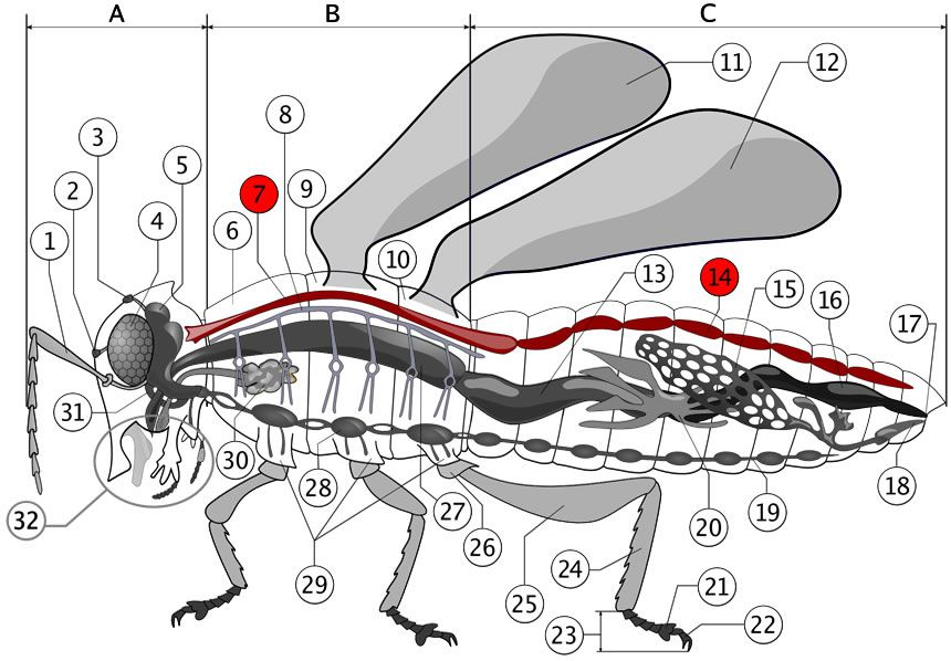 Insect circulatory system.