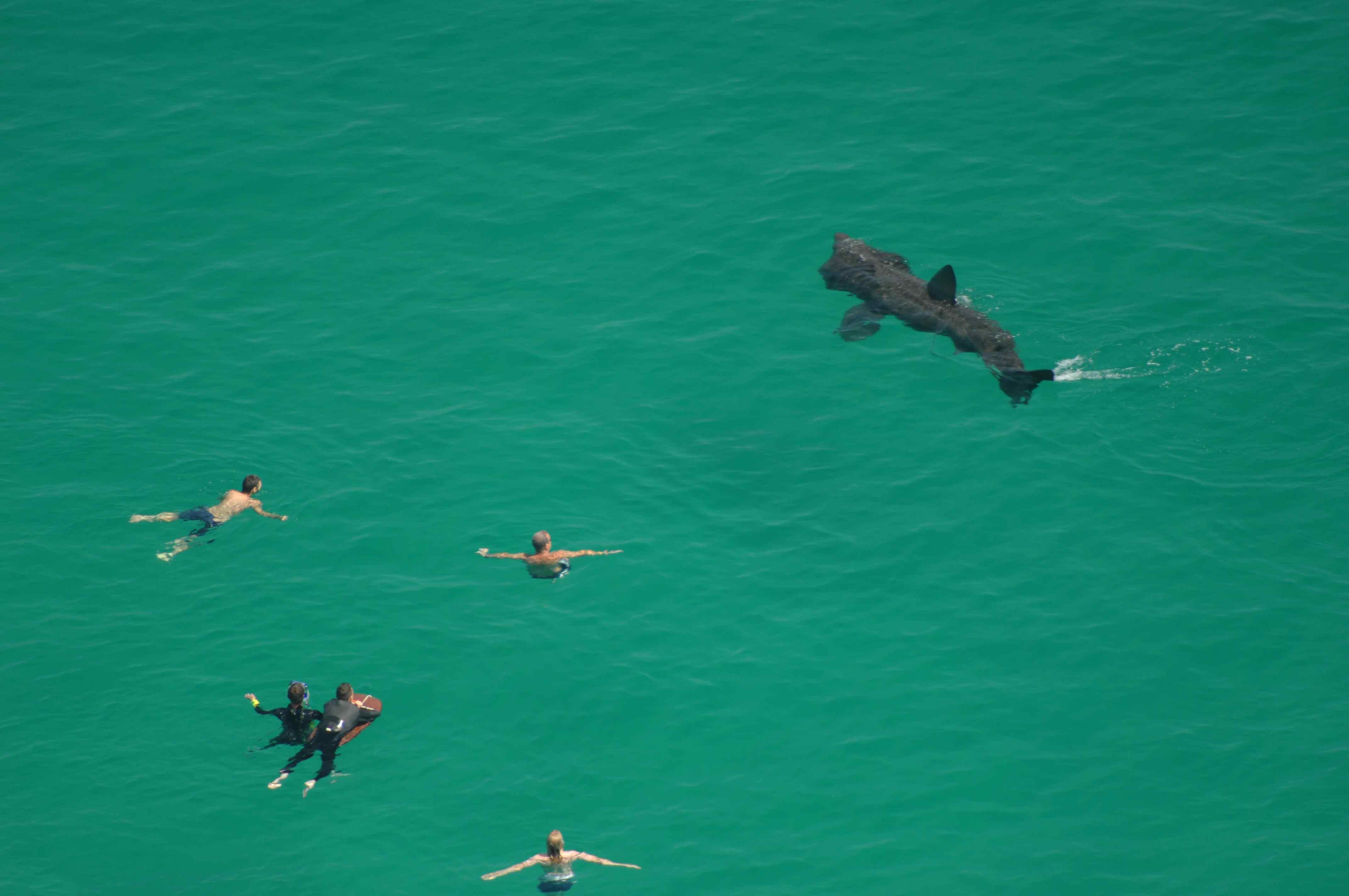 Los tiburones peregrinos no son agresivos y no pueden comerse a las personas.