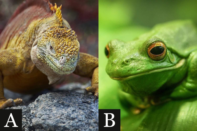 Amphibian or Reptile?