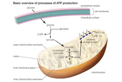 Difference between fermentation anaerobic respiration learn about the 3 main stages of cellular respiration ccuart Gallery