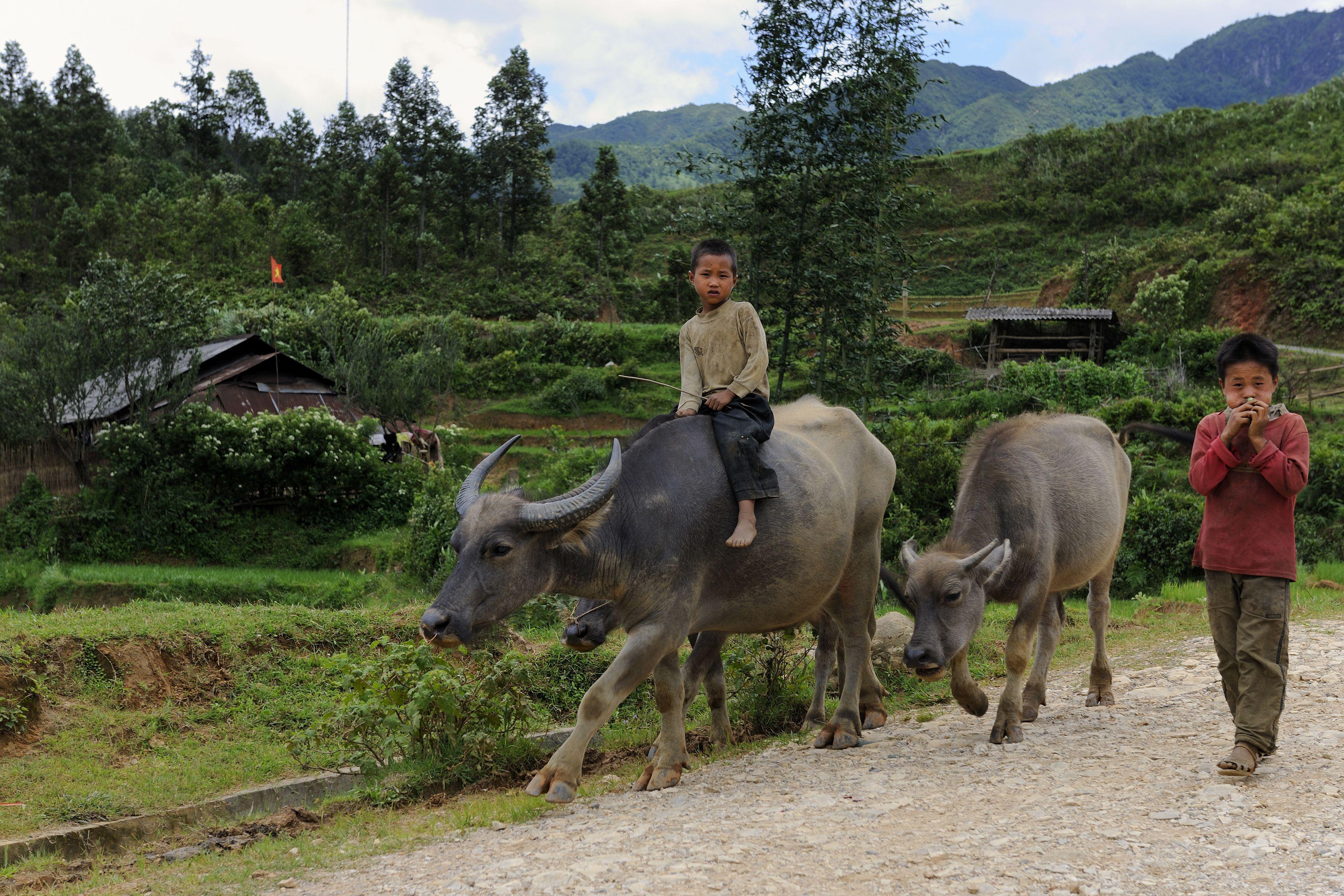 children with water buffalo in Vietnam