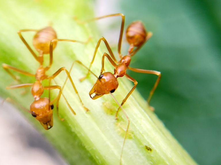 Close-Up Of Fire Ants On Plant