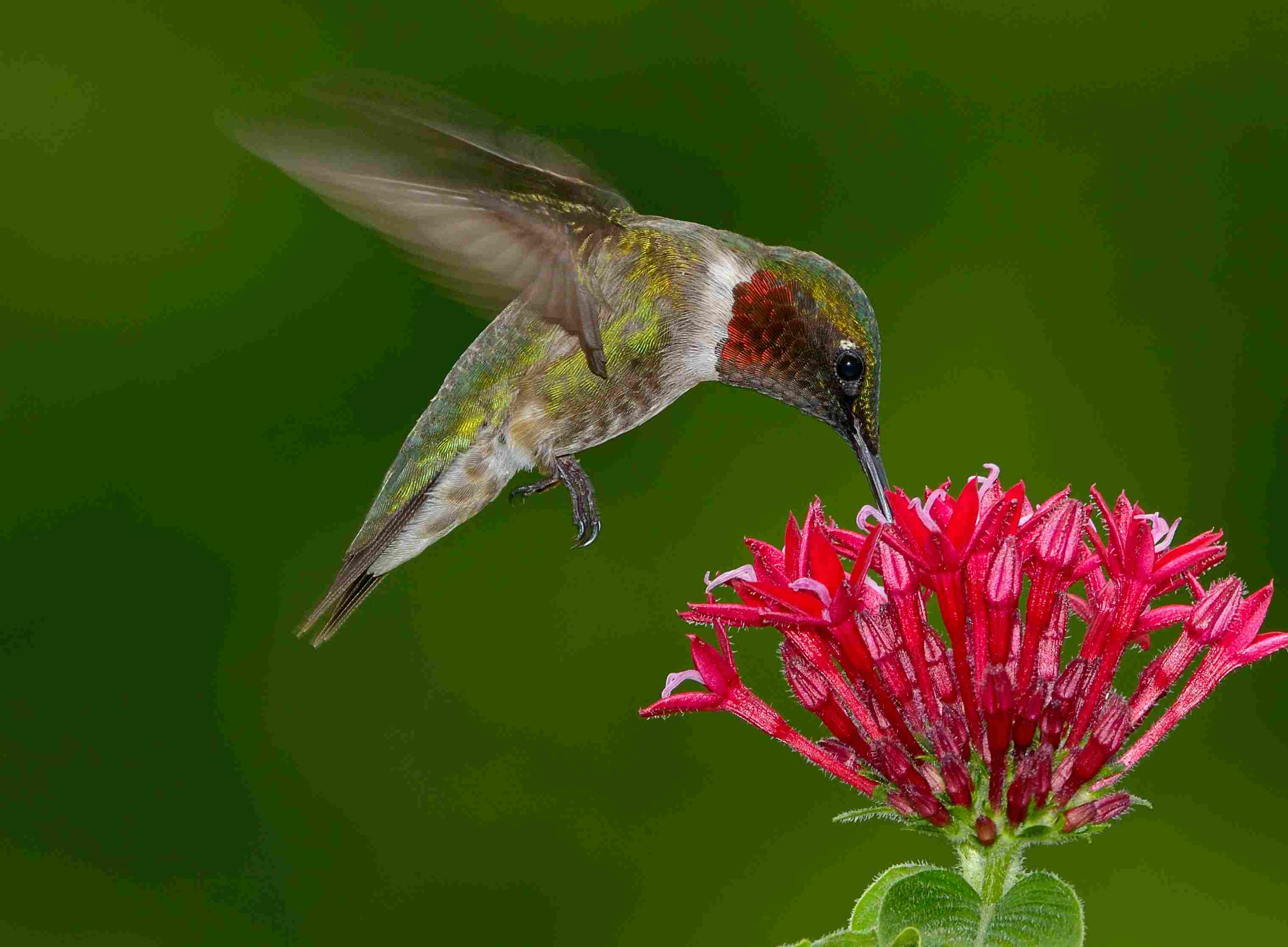 A male Ruby-throat Hummingbird in flight hovering and drinking from a cluster of small red flowers against a green background