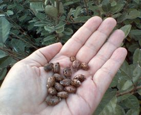 Castor beans are the source of the poison called ricin, but also of castor oil and other products.