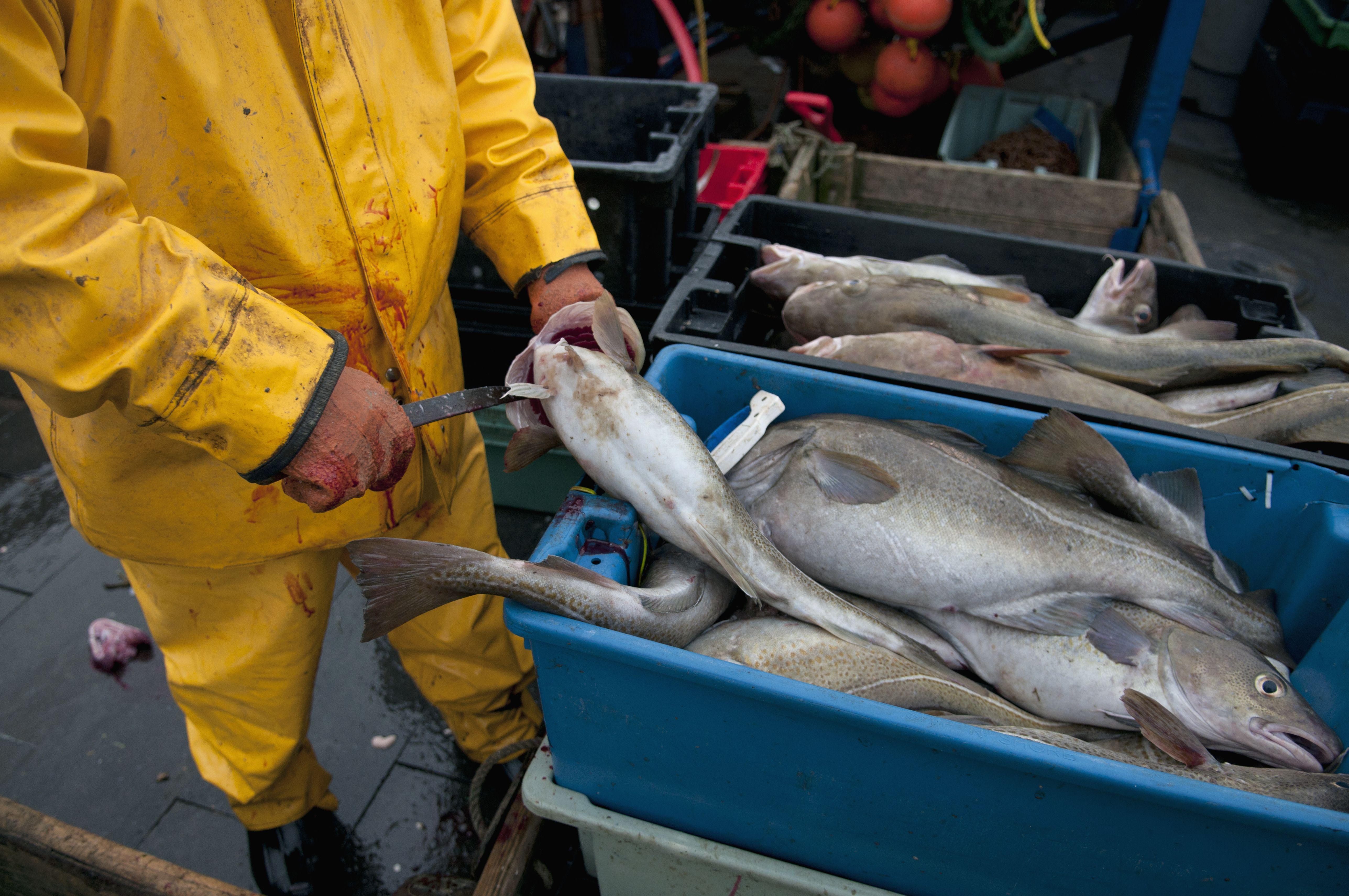 Fisherman cleans Atlantic Cod Fish