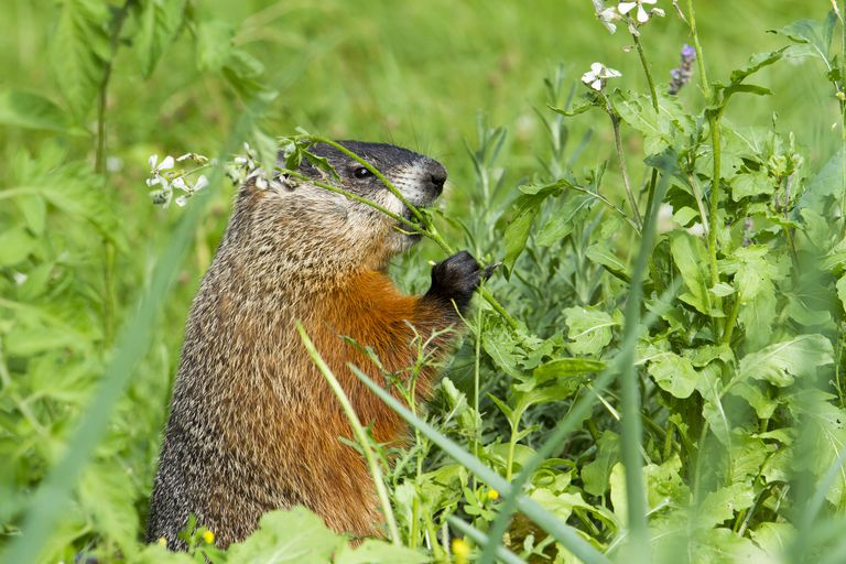 Woodchuck eating weeds