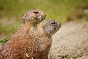 Two groundhogs standing in profile