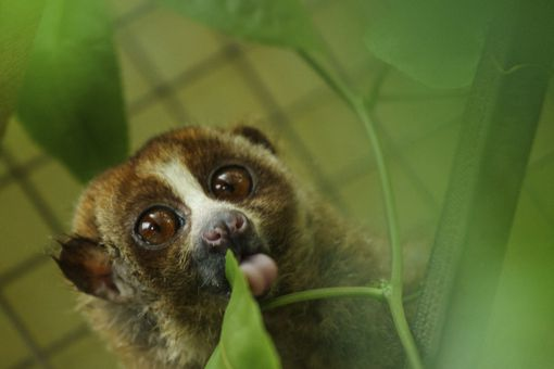 Indonesian Sanctuary Helps To Save The Slow Loris From Extinction