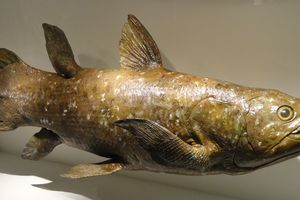 coelacanth fossil at Houston Museum of Natural Science in Houston, Texas