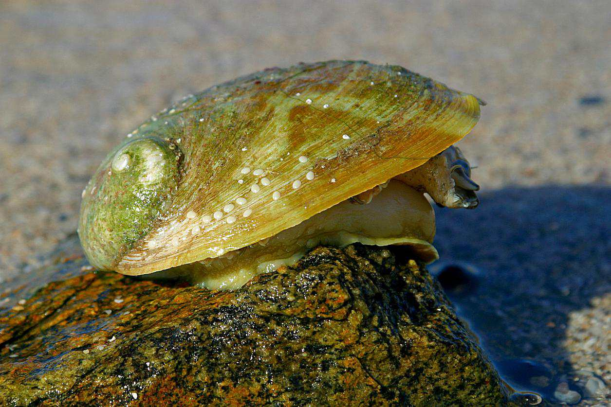 Green Abalone on Rock