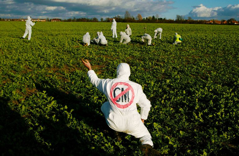 A protester tears up a genetically modified plants