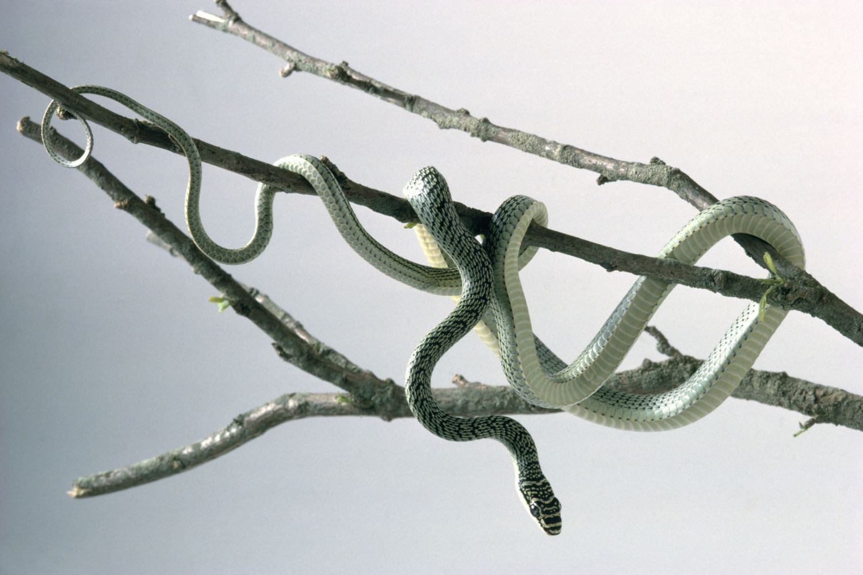 Flying snake