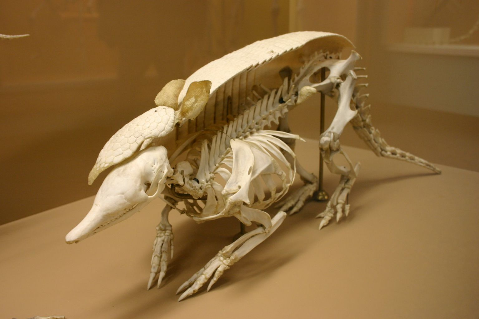 A model cross-section of an armadillo skeleton