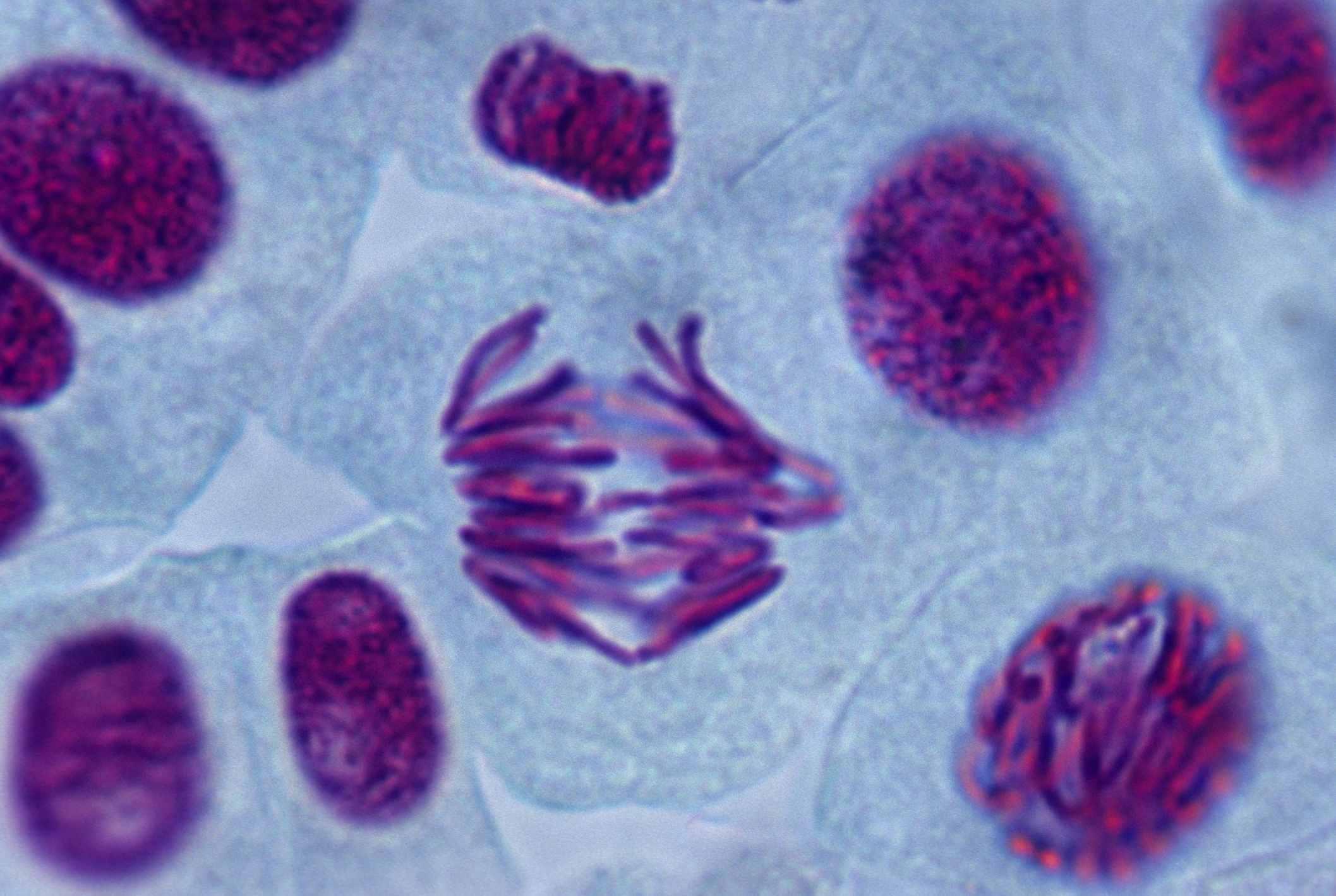 Duplication can happen when sister chromatids split