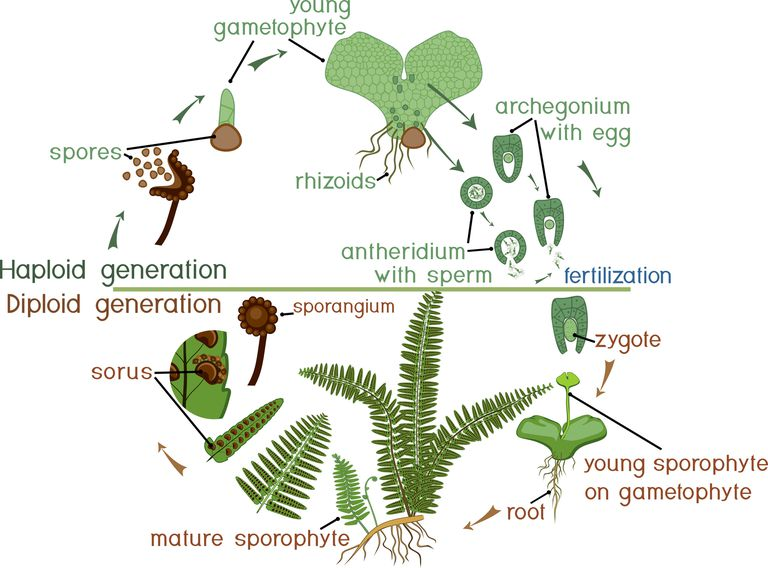 Fern Life Cycle How Fern Reproduction Works