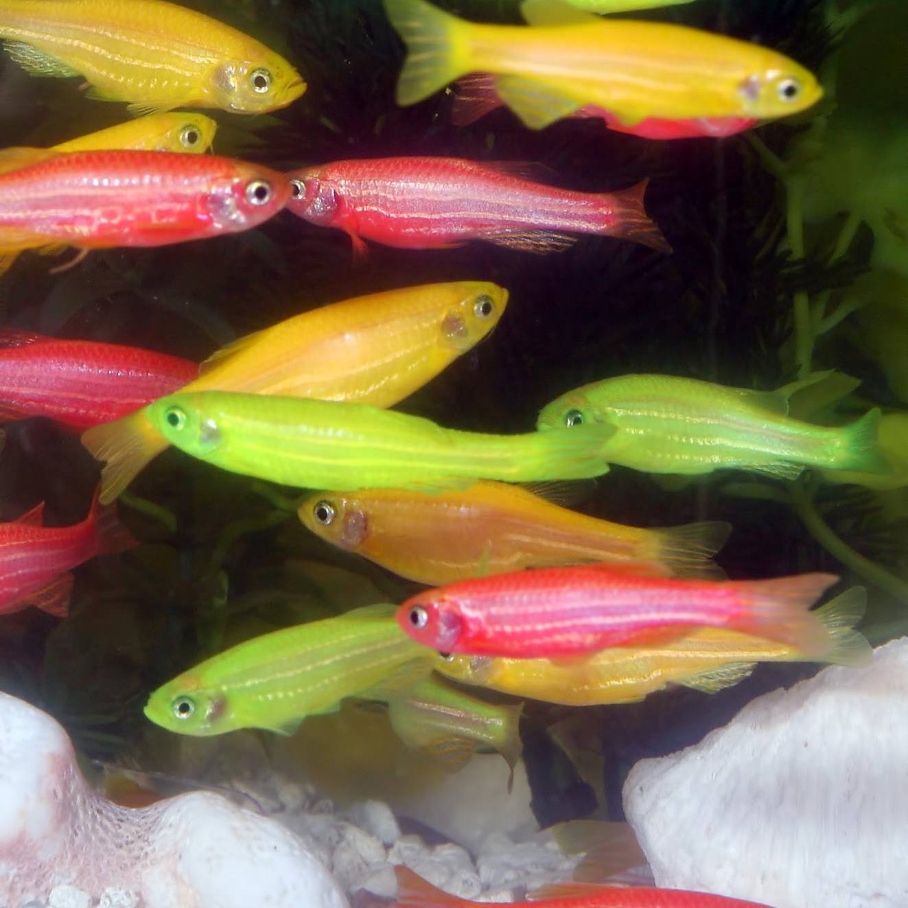 GloFish genetically modified fluorescent fish get their glowing color from GFP.